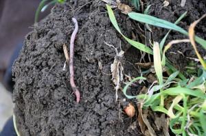 earthworm / soil health