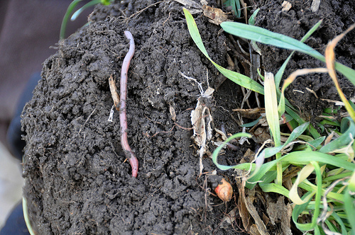 earthworm / soil health