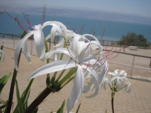 flowers at the Dead Sea