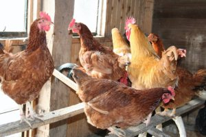 organically raised chickens