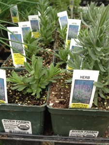 Fresh herbs for sale