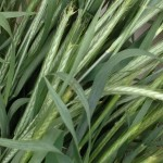 close up of green wheat