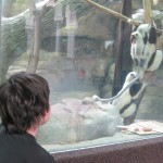 watching lemurs at the STL Zoo