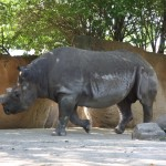 An imposing rhino at the St Louis Zoo