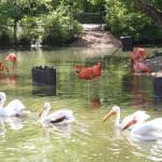 flamingos at the STL zoo