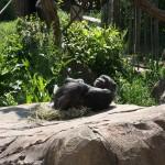 chimp playing around