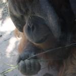 orangutan Robert B at St Louis Zoo