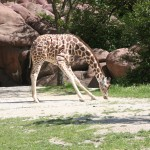 giraffe bending down to eat