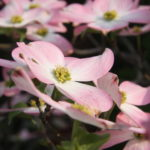 beautiful pink dogwoods