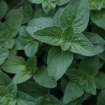 oregano close up