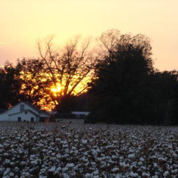 sunset on a cotton field