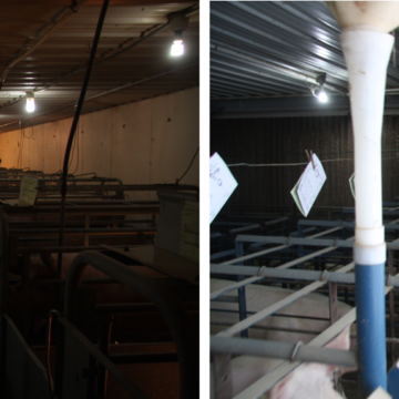 inside hog barns