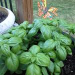 fresh basil container garden