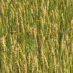 close up of wheat near harvest