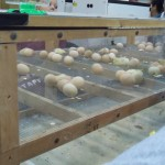 egg hatches during the Iowa State Fair