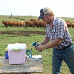 preparing vaccines for calves