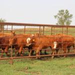 calves headed toward the chute