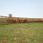 moving calves toward the chute