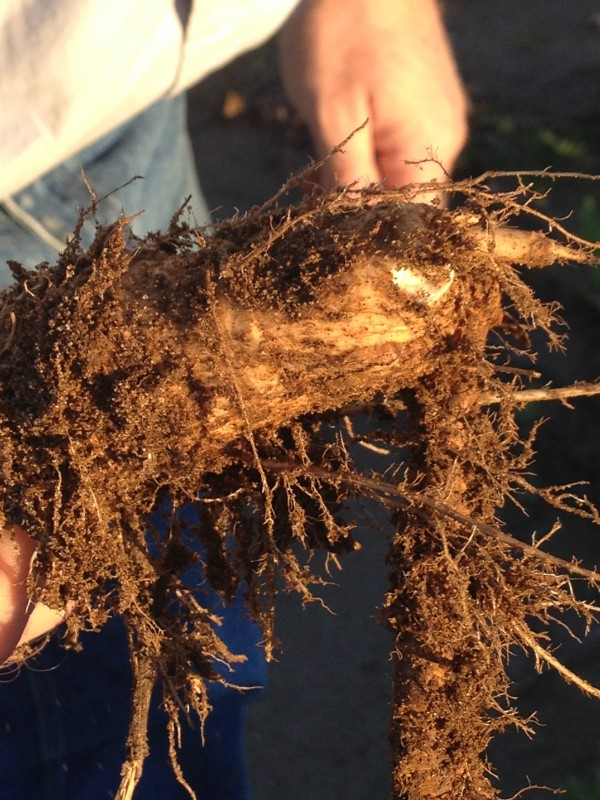 Looking at horseradish roots midseason