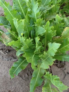 closeup of horseradish plant