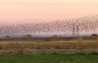 flock of birds dancing