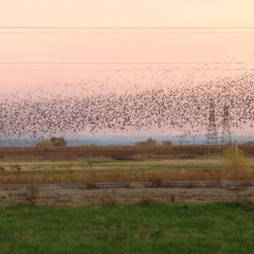 flock of birds dancing