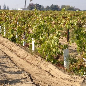 growing grapes for raisins