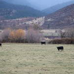 Cattle on the Fowle's ranch