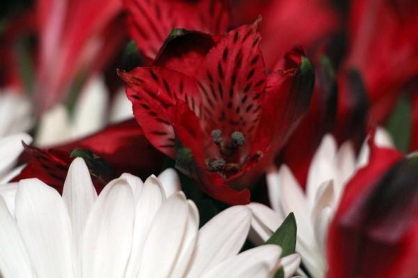 flowers -- daises & astramaria