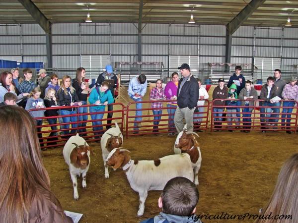 judging goats