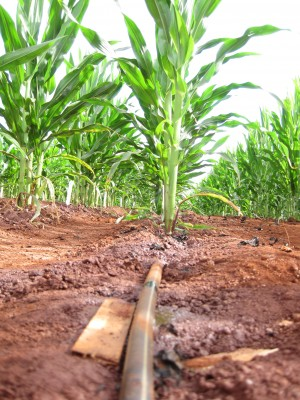 drip irrigation in corn