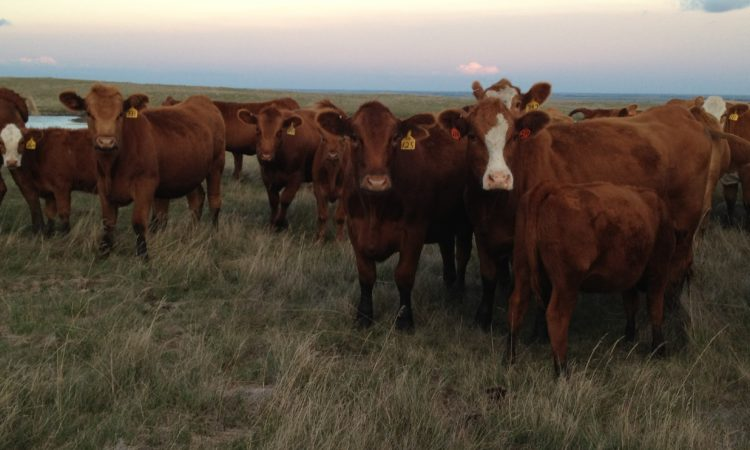 cattle grazing on the prairie