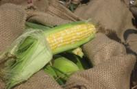 GMO sweet corn