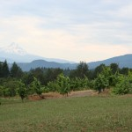 Oregon wine on the vine