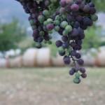 closeup of grapes on the vine vineyard