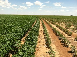 irrigated & dryland cotton comparison
