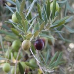olives rippening on the tree