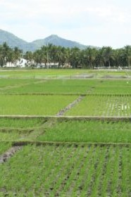 rice field in The Philippines