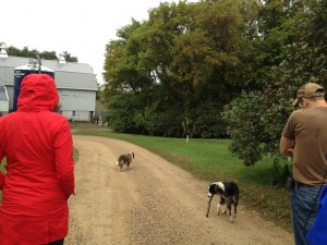 farm dogs lead the tour