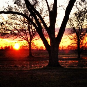 sunset in a pecan grove