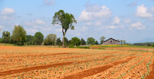 Cavin Farms broccoli
