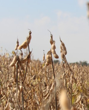 soybean plants in the field