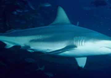 shark feature