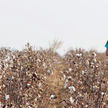 looking for the cotton harvest crew