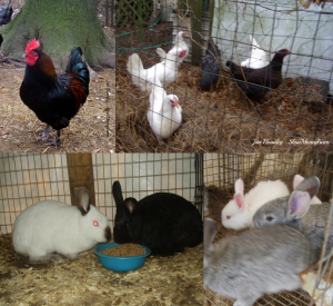 rabbits & chickens at Slow Money Farm