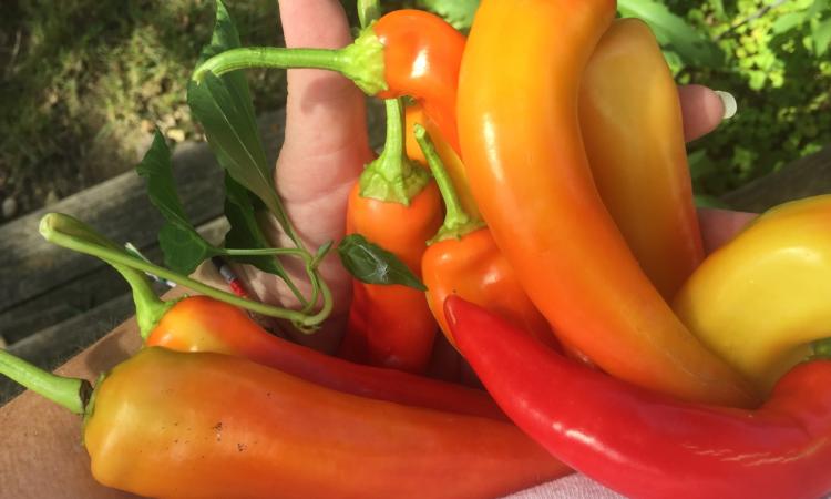 sunset pepper cover
