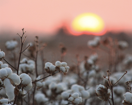 Hundred Percent Cotton at Sunset