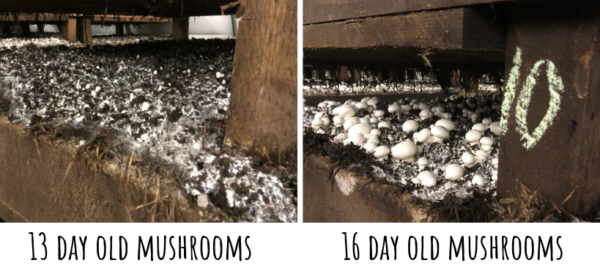 mushrooms at 13 & 16 days growth
