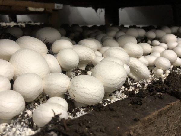scaling on mushrooms